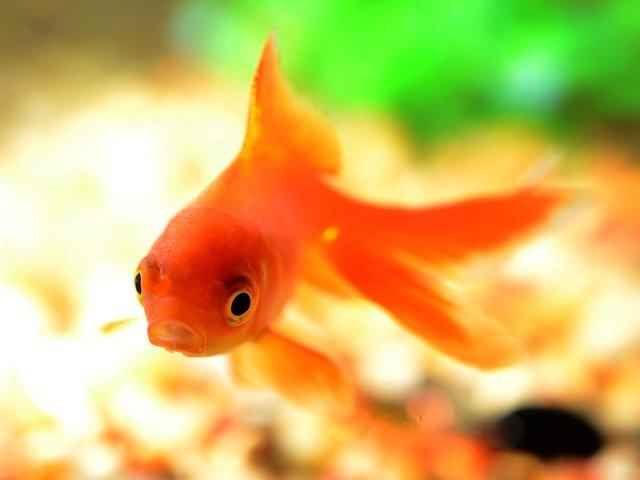 zlatá rybička